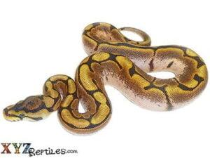 calider ball python for sale