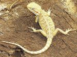 Citrus Bearded Dragon For Sale
