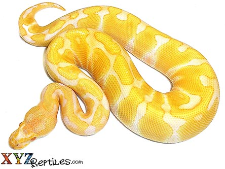 baby albino enchi ball python for sale