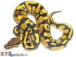 Baby Fire Yellow Belly Ball Python