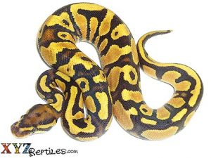 baby fire yellow belly ball python for sale