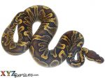 Baby GHI Ball Python