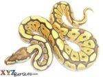 Baby Mojave Spider Ball Python