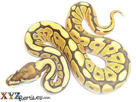 baby mojave spider ball python for sale