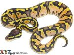 Baby Pastel Calico Ball Python
