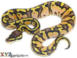 baby pastel calico ball python for sale