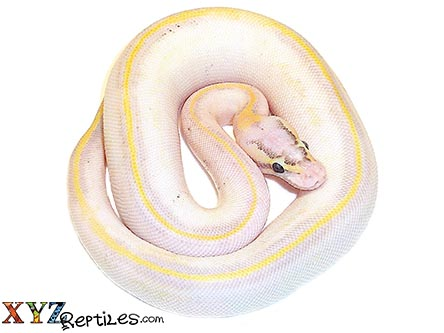 baby pastel ivory ball python for sale