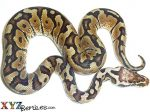 Baby Pastel Woma Ball Python