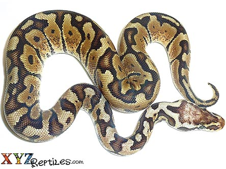 baby pastel woma ball python for sale