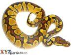 Baby Enchi Fire Ball Python