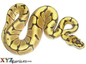 fire spider ball python for sale