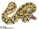 Baby Pastel Vanilla Ball Python