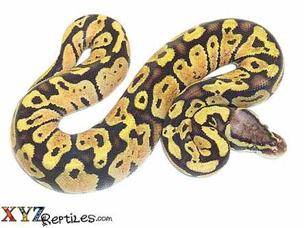 pastel vanilla ball python for sale