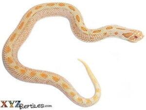 albino anaconda hognose for sale