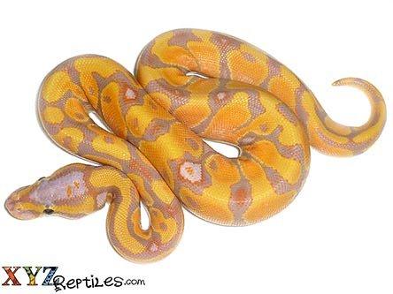 banana enchi ball python for sale