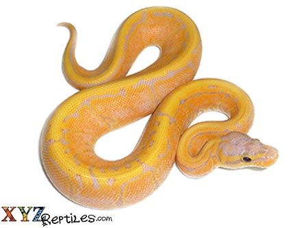 banana pinstripe ball python for sale