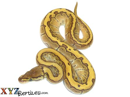butter pinstripe ball python for sale