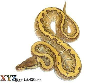 Baby Butter Pinstripe Ball Python