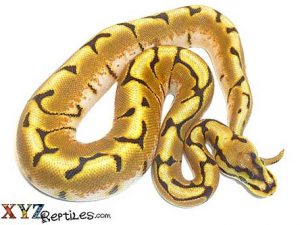 enchi spider ball python for sale