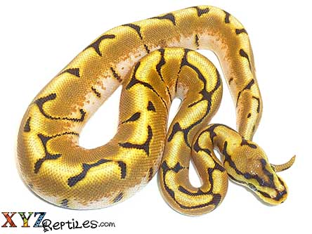enchi spider ball python for sale