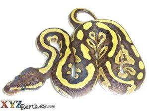 fire mojave ball python for sale