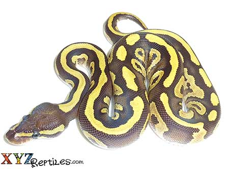 fire mojave ball python for sale