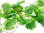 Grape Leaf Reptile Vine