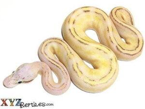 pastel puma ball python for sale