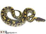Baby Phantom Ball Python