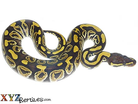phantom ball python for sale