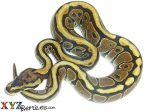 Baby Spotnose Ball Python