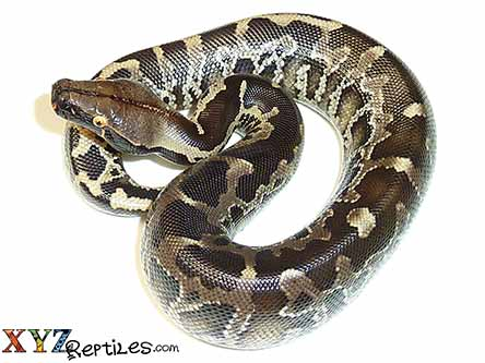 black blood python