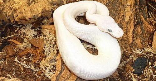 blue eyed lucy ball python