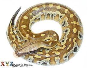 het t positive albino blood python