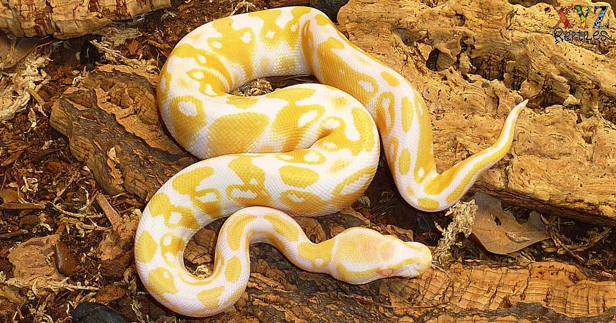 is a ball python a good pet