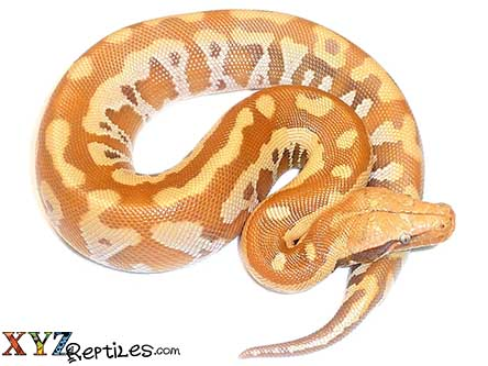 t positive albino blood python