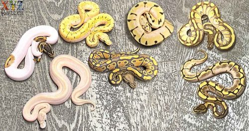 what is a ball python morph
