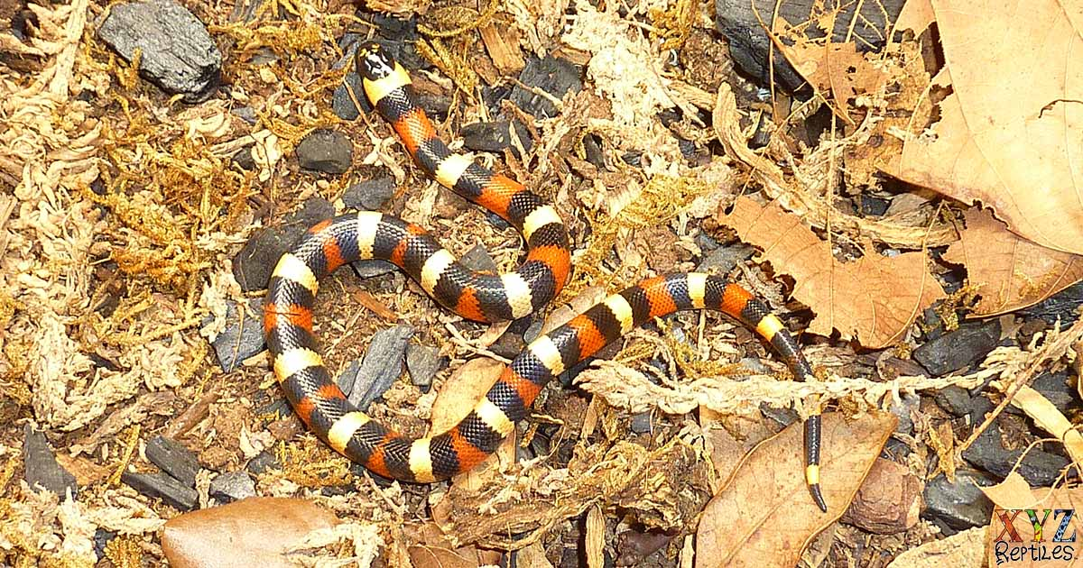 what types of milk snakes make good pets