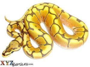 honey bee ball python for sale