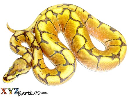 honey bee ball python for sale