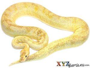 pastel champagne ball python