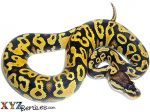 Baby Pastel Yellow Belly Ball Python
