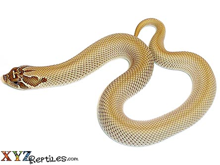 Superconda Hognose Snake For Sale