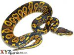 Baby Yellow Belly Ball Python