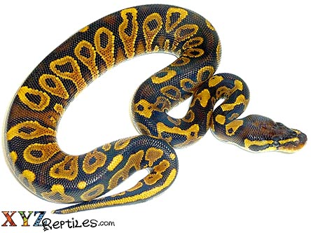 yellow belly ball python for sale