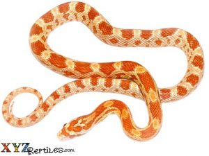 albino corn snake for sale