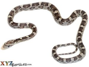 anery corn snake for sale