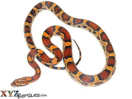 okeetee corn snake for sale