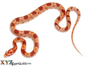 reverse okeetee corn snake for sale