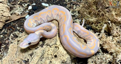 facts about ball pythons